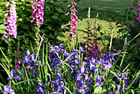 Foxgloves and bluebells
